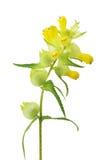 grzebionatki brzęku kolor żółty Zdjęcie Royalty Free
