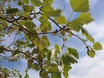 Grzechocze zielonego drzewa przy wiosna sezonem z niebieskiego nieba tłem Fotografia Royalty Free