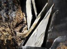 Grzechotnik między skałami obraz stock
