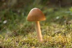 grzyb dziki Brown pieczarka, naturalnego środowiska tło obraz royalty free