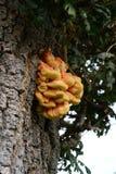 Grzyb na dębowym drzewie zdjęcia royalty free