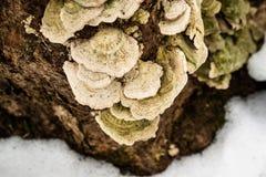 Grzyb na drzewie w zimie Fotografia Stock