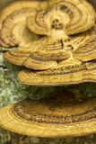 Grzyb na drzewnej, makro- fotografii, zdjęcie stock