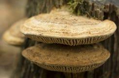 Grzyb na drzewnej, makro- fotografii, zdjęcie royalty free