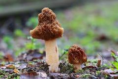 grzyb pieczarka Zdjęcia Royalty Free