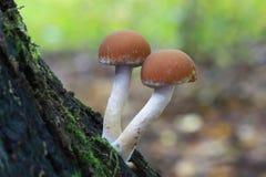 grzyb pieczarki Zdjęcia Stock