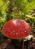 grzyb rósł w jesieni ulistnieniu w lesie Obraz Stock