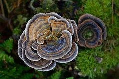 grzyb turkeytail obrazy stock