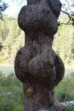 Grzybowi drzewo, barkentyna/dmuchamy out obraz royalty free
