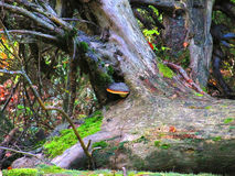 Grzybowy dorośnięcie na Nieżywym Starym drzewie Obraz Stock