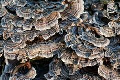 Grzyby na nieżywym drzewnym Trametes versicolor, często dzwoniący indyczy ogon, członek lasowa fungal ptactwo społeczność w lesie obrazy royalty free