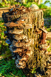 Grzyby r na drzewnym fiszorku Zdjęcia Stock