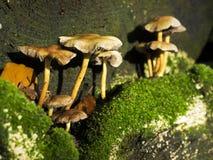 grzyby uprawiane drzewne Fotografia Royalty Free