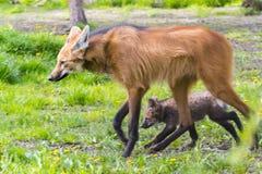Grzywiasty wilczy szczeniak Zdjęcie Royalty Free
