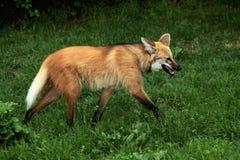 Grzywiasty wilk Zdjęcia Stock