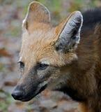 Grzywiasty wilk 4 Obraz Stock