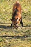 Grzywiasty wilk Fotografia Stock