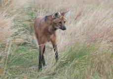 Grzywiasty wilk Fotografia Royalty Free