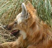 Grzywiasty wilk Zdjęcia Royalty Free