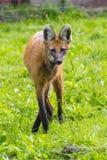Grzywiasty wilk (Chrysocyon brachyurus) Obrazy Stock