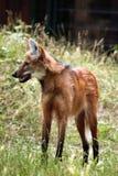 Grzywiasty wilk (Chrysocyon brachyurus) Obraz Stock