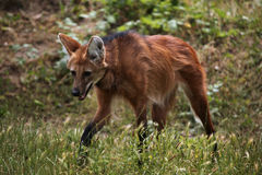 Grzywiasty wilk (Chrysocyon brachyurus) Obrazy Royalty Free
