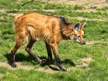 Grzywiasty wilk, Chrysocyon brachyurus, długie nogi Zdjęcie Stock