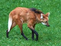 Grzywiasty wilk & x28; Chrysocyon brachyurus& x29; Obraz Royalty Free