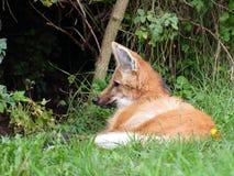 Grzywiasty wilk odpoczywa - zbliżenie widok Fotografia Stock