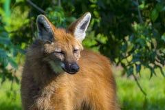 Grzywiasty wilk w zieleni Zdjęcia Stock