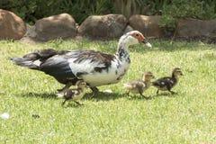 Gås och fågelungar Royaltyfria Foton