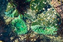 GSeaanemonen in bijlage aan rotsen in een getijdepool stock fotografie