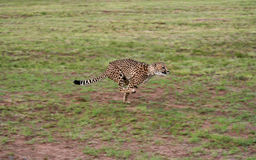 guépard 3 Photos stock