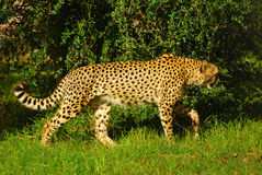guépard Photo stock