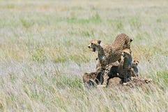 Guépard avec des animaux Photos libres de droits