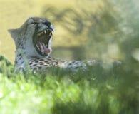 Guépard baîllant affichant les dents pointues Afrique Image stock