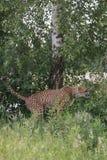 Guépard chiant dans l'herbe photo libre de droits