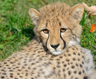 Guépard Cub Photos stock