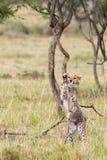 Guépard CUB jouant avec le jeune arbre d'acacia, masai Mara, Kenya photos stock
