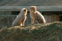 Guépard Cubs Images libres de droits