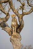 Guépard dans l'arbre Images libres de droits