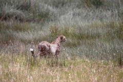 Guépard dans l'herbe Image libre de droits