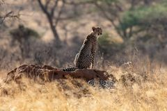 Guépard dans la lumière de matin sur les plaines dans Masai Mara, Kenya, Afrique images stock