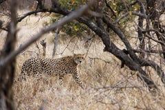 Guépard dans le buisson africain Image libre de droits