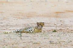 Guépard dans le désert de Kalahari Images libres de droits