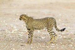 Guépard dans le désert de Kalahari Photo libre de droits