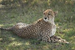 Guépard dans le masai Mara Photos libres de droits