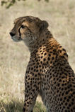 Guépard dans le masai Mara Photographie stock