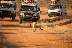 Guépard de chasse de touristes sur la route sale dans outre des voitures de route sur leur commande de jeu photographie stock