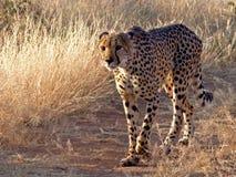 Guépard de marche - Namibie Photographie stock